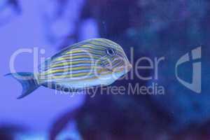 Striped surgeonfish Acanthurus lineatus
