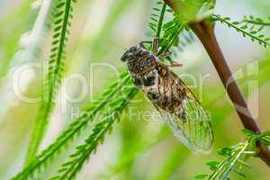Cicada sits on a branch in natural habitat