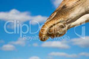 Nose of a giraffe against a blue sky
