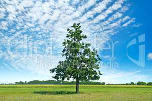 Oak tree on green meadow and sky with light clouds.