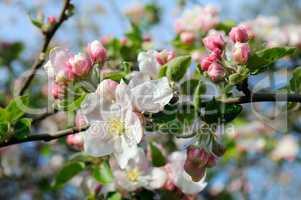 Flowers of an apple tree.
