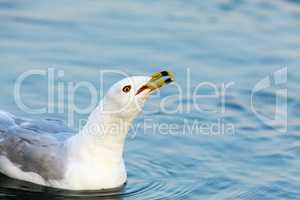 California Gull (Larus californicus) Calling.