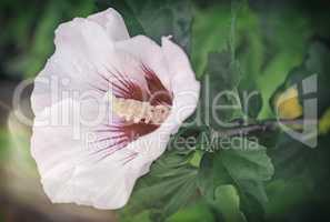 Beautiful large pink and white hibiscus flower.