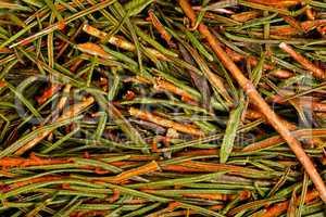 Marsh Northern Labrador Tea Ledum palustre .