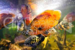 Two Oscar fish Astronotus ocellatus closeup shot on biotope