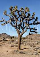 Joshua Tree - Yucca brevifolia.