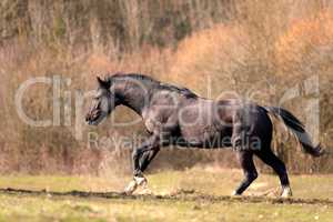 Black stallion horse run free and galopping powerful in madow