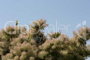 Smoke tree all color is highly variable, but at its best produces attractive shades of yellow, orange, and purplish-red photo