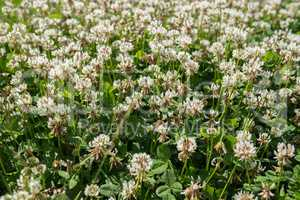 white clover wild meadow flowers in field. Nature vintage summer autumn outdoor photo. Selective focus macro shot with shallow DOF