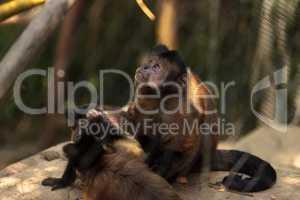 Tufted capuchin monkey of the genus Cebus apella apella