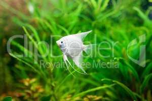 Angelfish in their natural habitat. Scalare