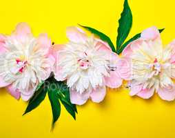 Three buds of pink flowering peonies on a yellow background