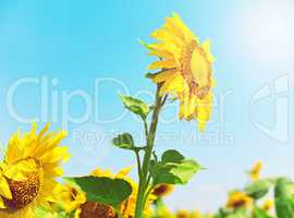 Blooming yellow sunflower in the rays