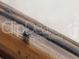 Fly (order Diptera) insect animal