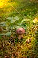 Boletus edulis ( penny bun)