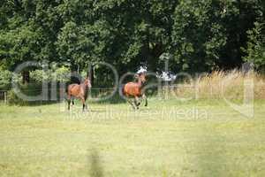 zwei Pferde galoppieren