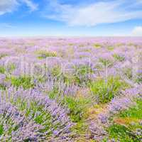 blooming lavender in field and blue sky