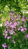 fleurs mauve