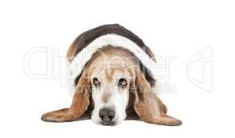 basset hound lange Ohren