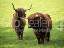 Highland cattle on green meadow