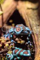 Green and black poison dart frog Dendrobates auratus