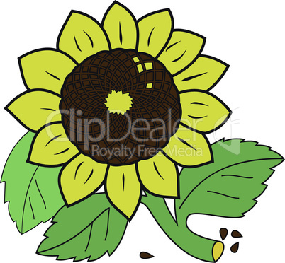 Large ripe sunflower