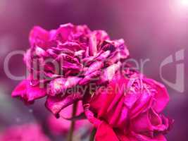 withered bud of red rose