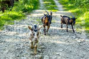 Goats on the way