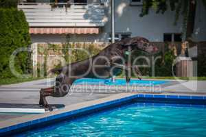 hunting dog goes swimming