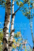 Birch trees against clear blue sky.