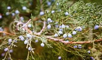 The juniper tree with beautiful branches and fruit.