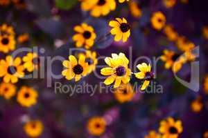 blooming yellow flowers Rudbeckia triloba