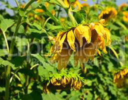 blossoming withering sunflower in the field by a summer day