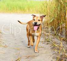 smiling redhead American pit bulls walking on nature