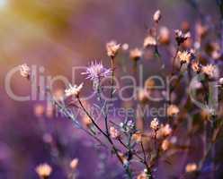bush cornflower Centaurea jacea