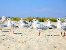 flock of white gulls
