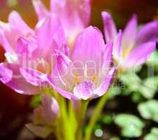 pink flowering crocus in the rays of a bright sun