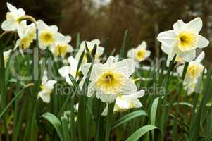 Botanical garden, the beautiful flowers in bloom and delight in the spring, narcissus