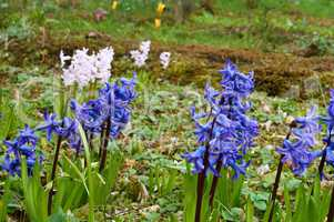 Botanical garden, the beautiful flowers in bloom and delight in the spring, hyacinth