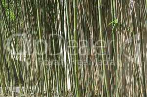Barrage of green or brown reeds