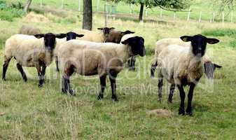 moutons a tête noire