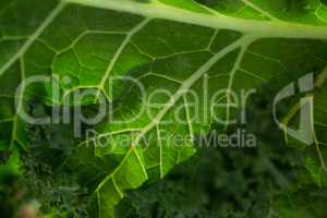 Close up of kale leaf
