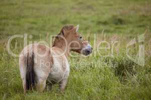 ein Przewalski Pferd