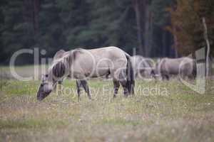 Konik Pferd frisst Gras