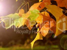 Golden leaves seasonal background