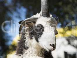 portrait of a ram with horns