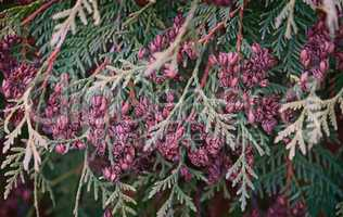 The branches and fruits of arborvitae, thuja occidentalis variet