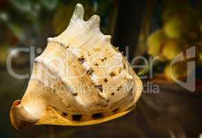 Still life:a beautiful seashell on the table.