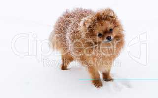 Cute dog of the Spitz breed. Reference picture.