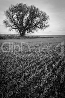 Lonely tree in field. landscape photo.